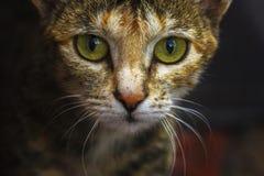 De enge kat kijkt vóór de aanval stock foto's