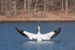 De engelachtige pelikaan spreidt zijn vleugels uit Stock Afbeeldingen