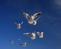 De engelen van zeemeeuwen Royalty-vrije Stock Foto's