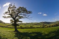 De Engelse boom stock foto's