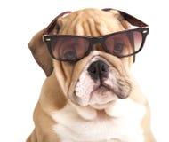 De Engelse Buldog van het puppy Royalty-vrije Stock Afbeeldingen