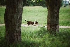 De Engelse Hond die van Bull terrier Bullterrier in de Zomerpark lopen royalty-vrije stock foto