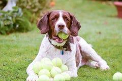 De Engelse hond van het Aanzetsteenspaniel met veel tennisballen Royalty-vrije Stock Afbeeldingen