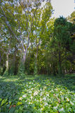 De Engelse klimop-Grond beklimt Grote Bomen Stock Fotografie