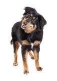 De Engelse Status van Herdersmixed breed dog Stock Afbeeldingen