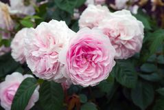 De Engelse struik roze Olivia nam Austin in tuin toe stock foto's