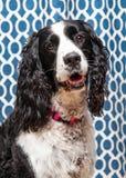 De Engelse van de de Hondclose-up van het Aanzetsteenspaniel Blauwe Achtergrond Stock Foto