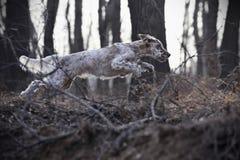 De Engelse Zetter van het huisdier van de hond Stock Foto