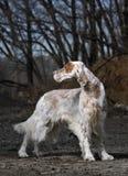 De Engelse Zetter van het huisdier van de hond Royalty-vrije Stock Foto's