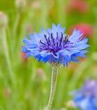 De enige blauwe Bloem van het Graan Royalty-vrije Stock Foto