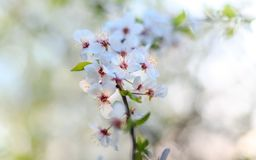 De enige bloeiende tak van de appelboom Royalty-vrije Stock Afbeelding
