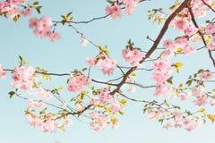 De enige bloeiende tak van de kersenboom royalty-vrije stock afbeelding