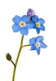 De enige bloem van het vergeet-mij-nietje op wit stock foto's