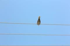 De enige duif regelt onderaan gevoelloos op hoogspanningslijn Stock Afbeeldingen