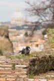 De enige duif zit op oude muur tegen St Peter ` s Kathedraal, Rome stock foto's