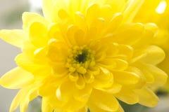 De enige gele chrysanten sluiten omhoog macro Royalty-vrije Stock Foto
