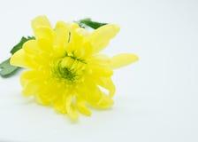 De enige gele chrysanten sluiten omhoog macro Stock Fotografie