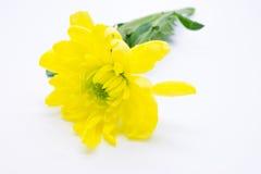 De enige gele chrysanten sluiten omhoog macro Stock Afbeeldingen