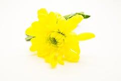 De enige gele chrysanten sluiten omhoog macro Royalty-vrije Stock Foto's