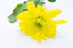 De enige gele chrysanten sluiten omhoog macro Stock Afbeelding