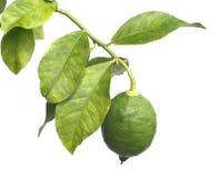 De enige groene citroen groeit op citrusvruchtentak Royalty-vrije Stock Foto's