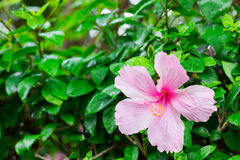 De enige roze bloem heeft waterdaling op groene achtergrond en leeg Royalty-vrije Stock Fotografie