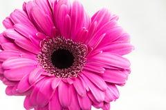 De enige roze bloem van Gerberajamesonii stock foto's