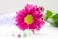 De enige roze chrysanten sluiten omhoog macro Stock Fotografie