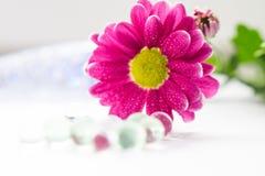 De enige roze chrysanten sluiten omhoog macro Stock Foto's