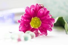 De enige roze chrysanten sluiten omhoog macro Stock Afbeeldingen