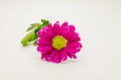 De enige roze chrysanten sluiten omhoog macro Royalty-vrije Stock Foto