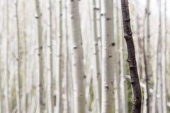 De enige Zwarte Boomstam van de Berkboom Royalty-vrije Stock Fotografie