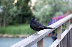 De enige zwarte vogel die van turdusmerula zich op brugtraliewerk bevinden royalty-vrije stock afbeelding