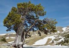 De enkla sörjer trädet i bergcirquen Fotografering för Bildbyråer
