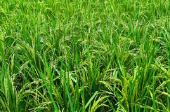 De enorme padievelden. Stock Fotografie