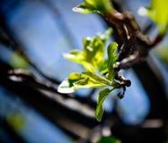 De enttwijg van de de lentemening Stock Afbeeldingen