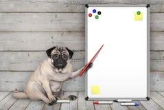 De ernstige pug zitting die van de puppyhond neer, op lege witte raad met gele nota's en magneten, op houten vloer richten royalty-vrije stock afbeeldingen