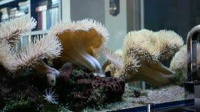 De ertsader van aquariumkoralen stock footage