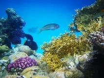 De ertsader van het hard-koraal in Rode overzees Stock Foto's