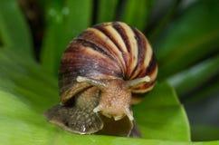 De escargot beweegt zich op groen blad Stock Foto's