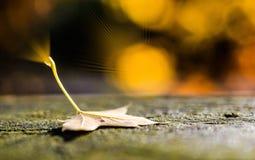De esdoorn doorbladert in de herfst Stock Foto