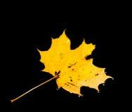 De esdoorn doorbladert in de herfst Royalty-vrije Stock Afbeeldingen