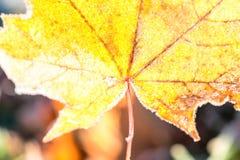 De esdoorn doorbladert in de herfst Stock Foto's