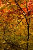 De esdoorn gaat in de herfst weg Stock Foto