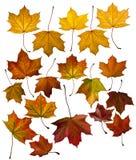 De esdoorn van bladeren Stock Afbeelding