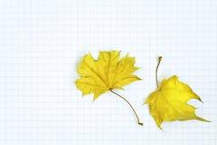 De esdoorn van de herfst Royalty-vrije Stock Afbeelding