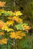 De esdoorn van de herfst bigleaf Stock Afbeelding