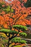 De Esdoorn van de herfst en de Boom van de Pijnboom in Japanse Tuin Royalty-vrije Stock Foto