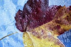 De esdoorn van de herfstbladeren Royalty-vrije Stock Foto