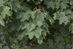 De Esdoorn van Noorwegen (Acer platanoides) Royalty-vrije Stock Foto